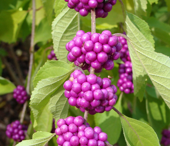 Must 20have 20native 20shrubs 20callicarpa 20americana 20web