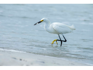 Snowy Egret A Declining Species In Florida