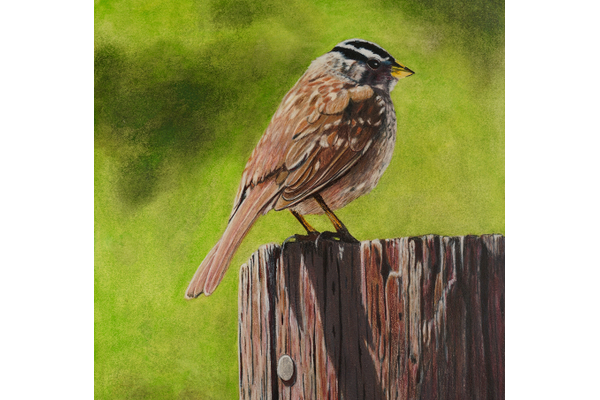 Small crowned sparrow