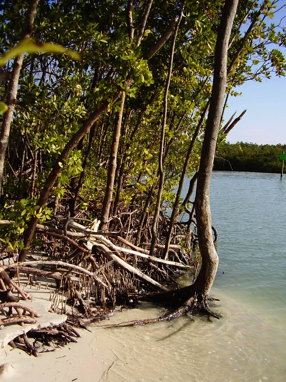 Mangroves 20estuary