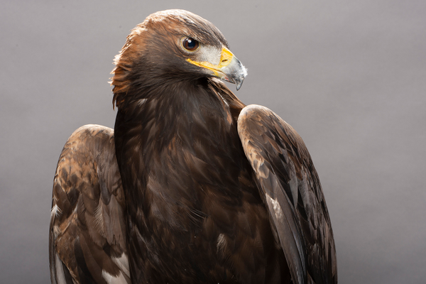 Autumn, the Golden Eagle, photo by Mike Faix