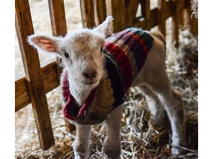 Baby farm animal celebration in Woodstock - start Apr 19 2019 1000AM