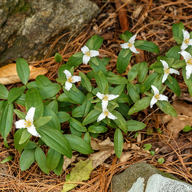 Terrific 20trilliums 20 2  20800 20x 20600