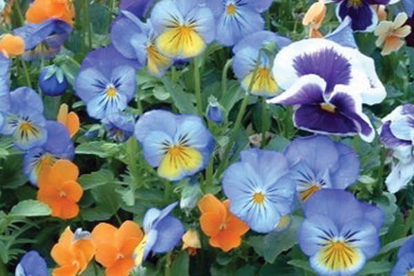 Pansies, an edible flower