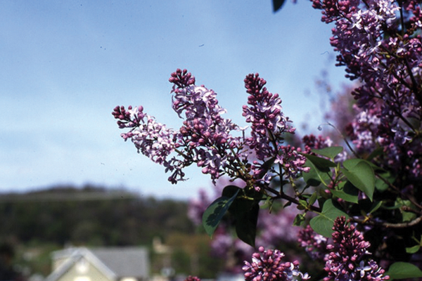 Syringa vulgaris, an edible plant