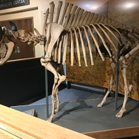 Bison 20skeleton