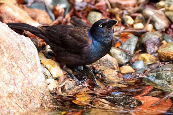 blackbird at stream