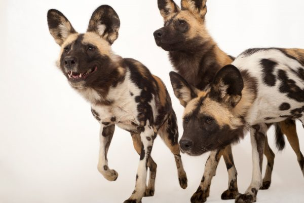 African wild dogs (©Joel Sartore/National Geographic Photo Ark)