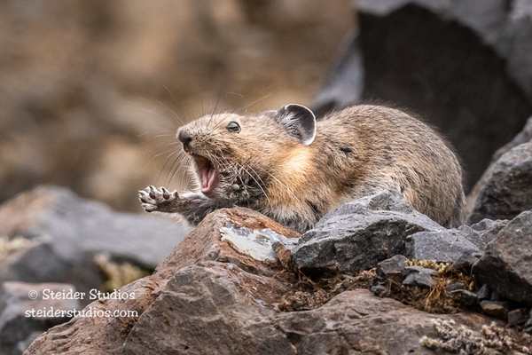 A potato-sized Pika shows its ferocity amid Columbia Gorge talus.