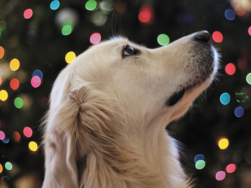 Dog waiting for homemade holiday pet treats