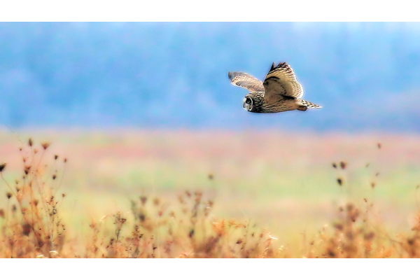 Short-eared owl at Midewin NTP. Photo by Ken Murphy.