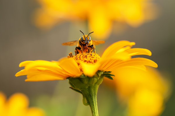 A bee inside a yellow flower