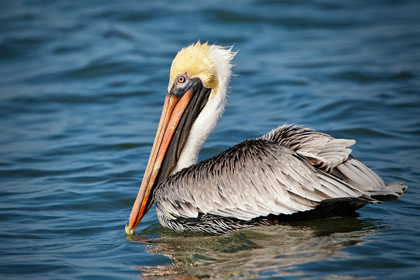 Pelican in wildlife refuge