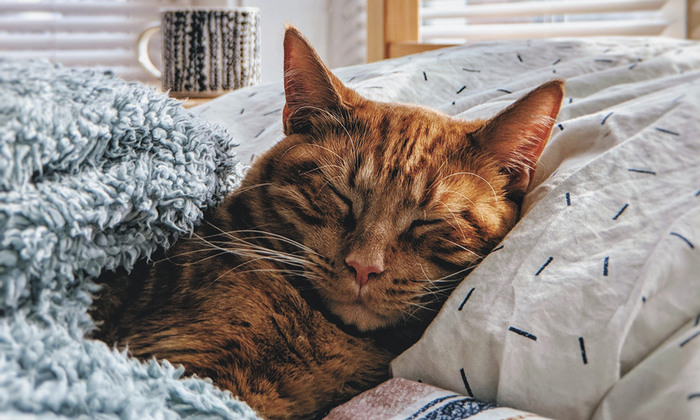 Healthy cancer-free cat lying down sleeping tucked into bed with pillow and blanket