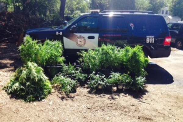 Police found 23 marijuana plants growing in the woods behind 1080 Main St., Tewksbury