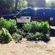 Police found 23 marijuana plants growing in the woods behind 1080 Main St., Tewksbury